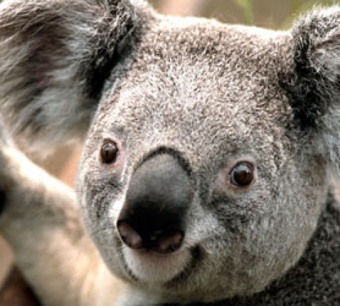 featured-image-koala